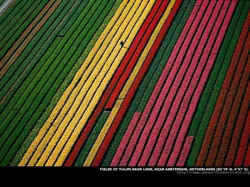 Fields of tulips near Amsterdam, Netherlands