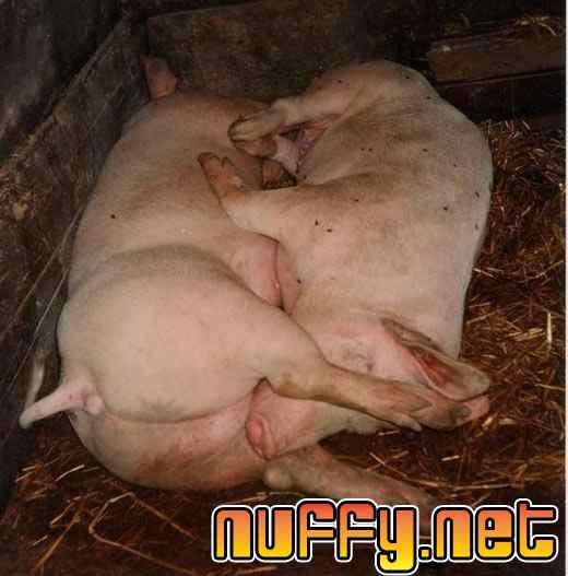 Pigs 69 pose