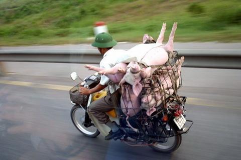 4 pigs on bike
