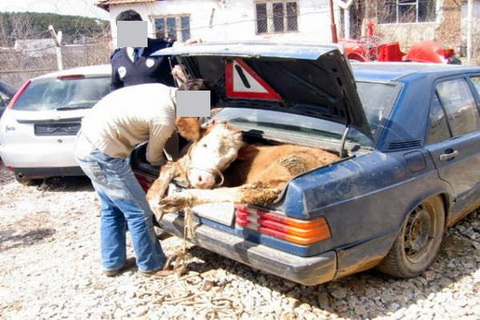 cow in trunk