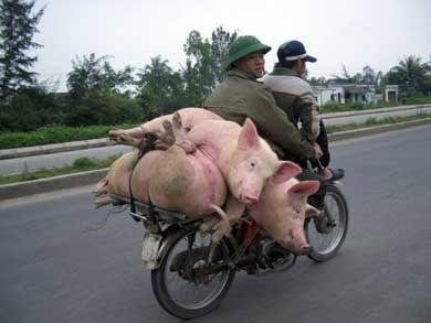 4 pigs and 2 people on bike