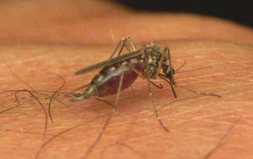danger mosquito
