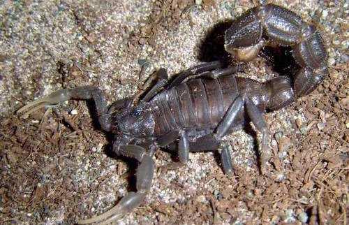 danger scorpion