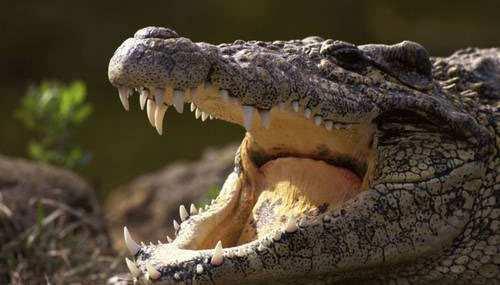 danger crocodile