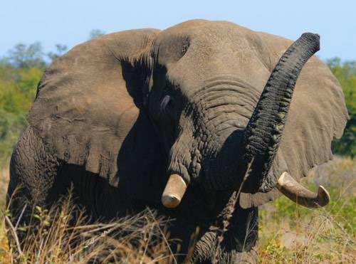 danger elephant